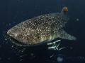 9m_whale_shark_and_his_many_friends.jpg