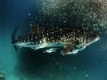 baitball_whale_shark_2.jpg