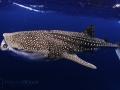 feeding_whale_shark_2.jpg