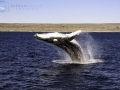 leaping_humpback_1.jpg