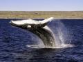 leaping_humpback_2.jpg