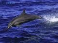 leaping_spinner_dolphin.jpg