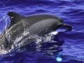 spinner_dolphin.jpg