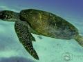 the_wanderer-_green_turtle.jpg