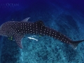 whale_shark_from_above_1.jpg