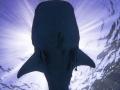 whale_shark_from_below.jpg