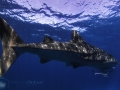whale_shark_serenity.jpg