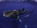 whale_shark_with_cobia_.jpg