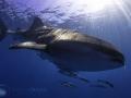 whale_shark_with_many_friends.jpg